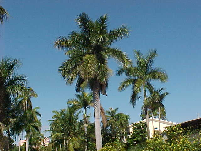Puerto Rican Royal Palm