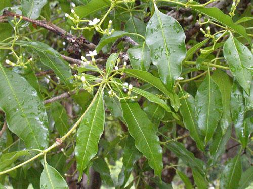 Rauwolfia             nitida