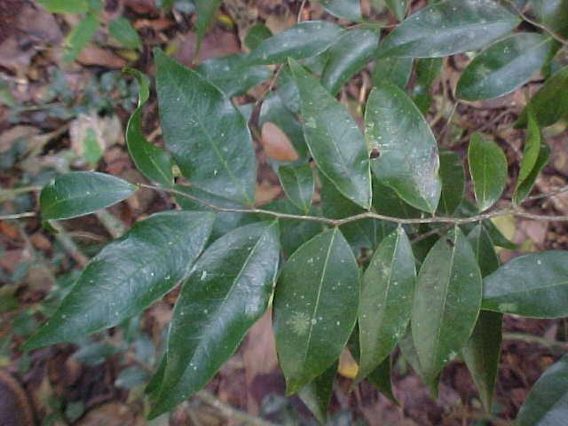 Oxandra             lanceolata